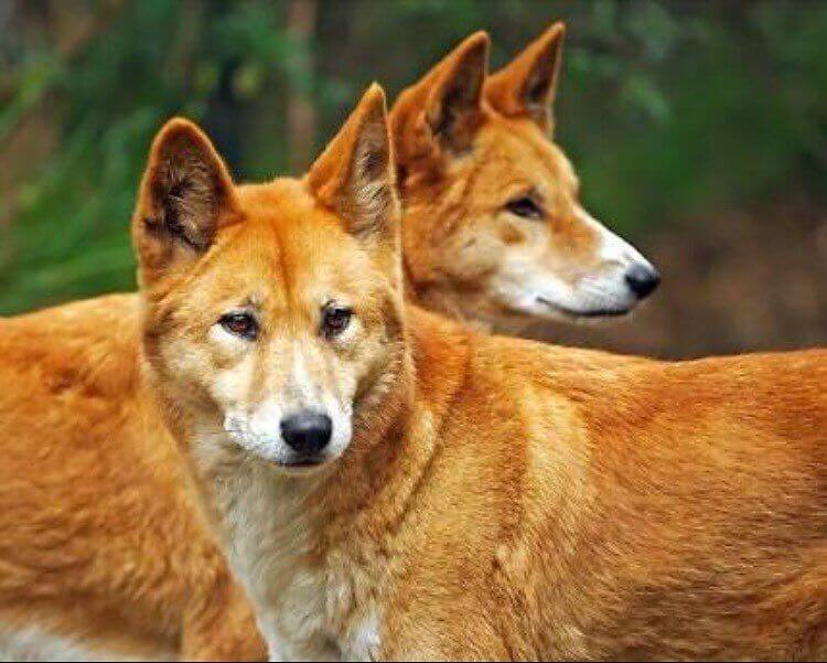 Dingo Syndrome