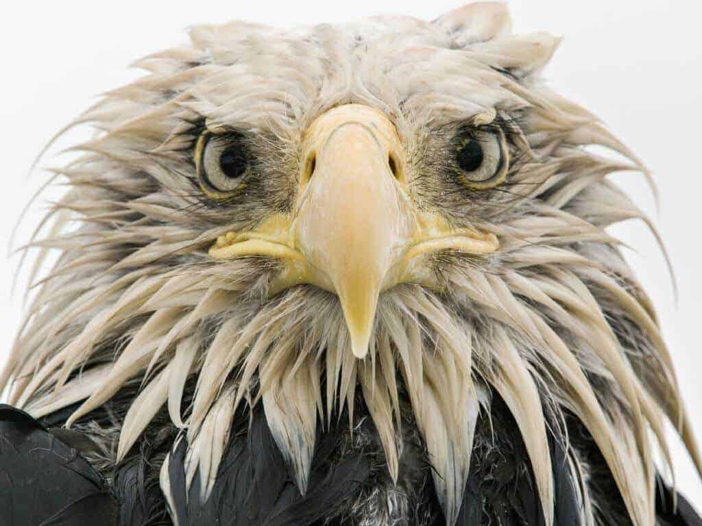 Mikky Eagle